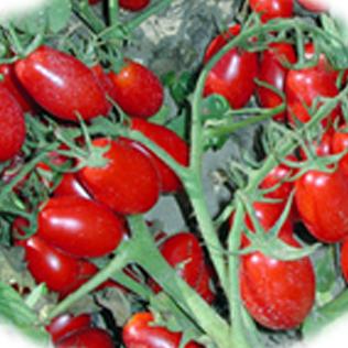 pomodori8_BIG